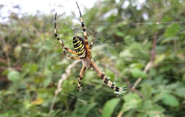 Аргиопа-паук-Описание-особенности-виды-образ-жизни-и-среда-обитания-аргиопы-14