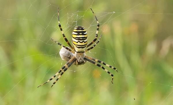 Аргиопа-паук-Описание-особенности-виды-образ-жизни-и-среда-обитания-аргиопы-15