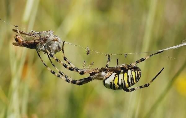 Аргиопа-паук-Описание-особенности-виды-образ-жизни-и-среда-обитания-аргиопы-16