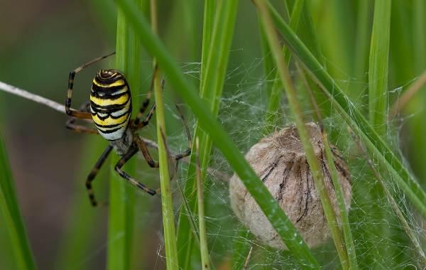 Аргиопа-паук-Описание-особенности-виды-образ-жизни-и-среда-обитания-аргиопы-18