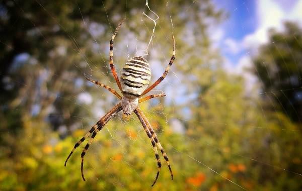 Аргиопа-паук-Описание-особенности-виды-образ-жизни-и-среда-обитания-аргиопы-2