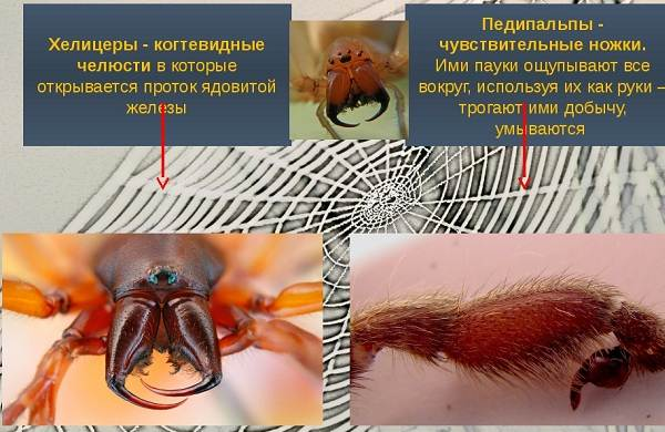 Аргиопа-паук-Описание-особенности-виды-образ-жизни-и-среда-обитания-аргиопы-3