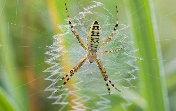 Аргиопа-паук-Описание-особенности-виды-образ-жизни-и-среда-обитания-аргиопы-4