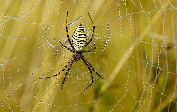 Аргиопа-паук-Описание-особенности-виды-образ-жизни-и-среда-обитания-аргиопы-5