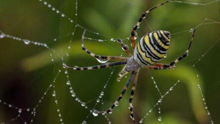 Аргиопа паук. Описание, особенности, виды, образ жизни и среда обитания аргиопы