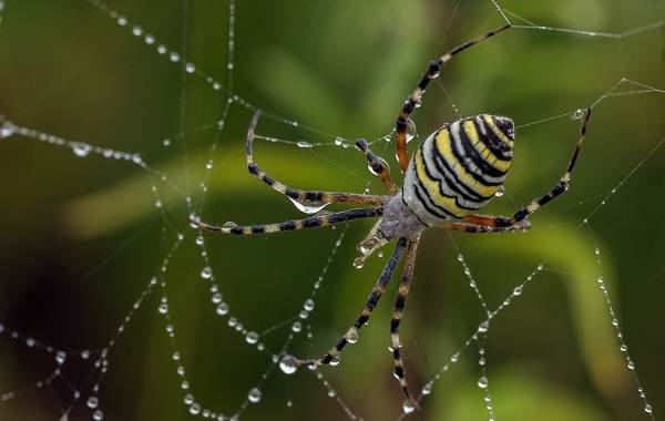 Аргиопа-паук-Описание-особенности-виды-образ-жизни-и-среда-обитания-аргиопы-6