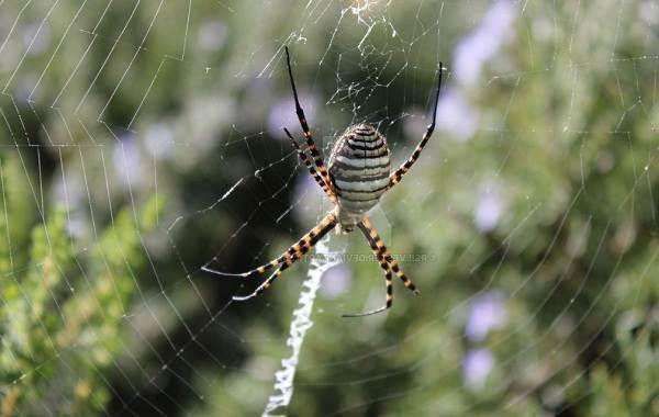 Аргиопа-паук-Описание-особенности-виды-образ-жизни-и-среда-обитания-аргиопы-7