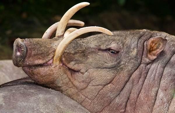 Бабирусса-дикая-свинья-Описание-особенности-виды-образ-жизни-и-среда-обитания-бабируссы-1