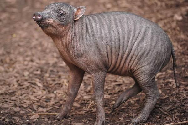 Бабирусса-дикая-свинья-Описание-особенности-виды-образ-жизни-и-среда-обитания-бабируссы-10