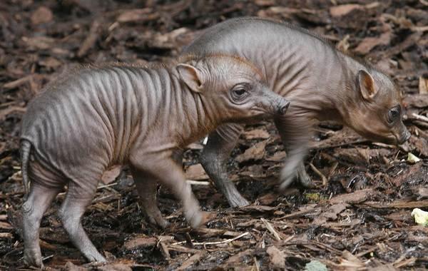 Бабирусса-дикая-свинья-Описание-особенности-виды-образ-жизни-и-среда-обитания-бабируссы-11
