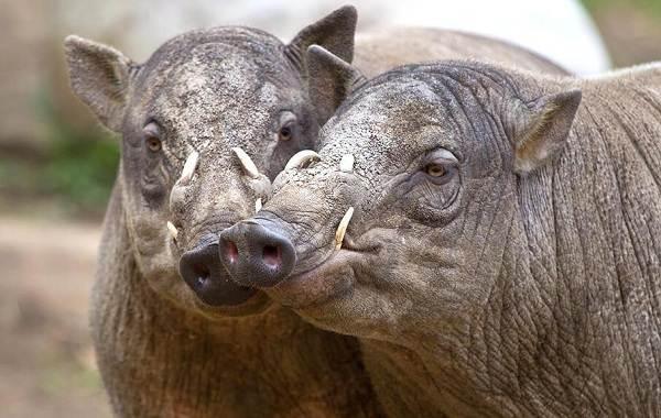 Бабирусса-дикая-свинья-Описание-особенности-виды-образ-жизни-и-среда-обитания-бабируссы-2