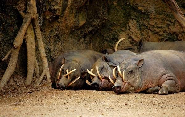 Бабирусса-дикая-свинья-Описание-особенности-виды-образ-жизни-и-среда-обитания-бабируссы-3