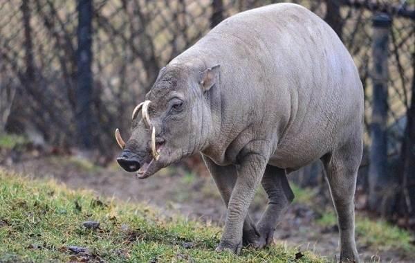 Бабирусса-дикая-свинья-Описание-особенности-виды-образ-жизни-и-среда-обитания-бабируссы-4