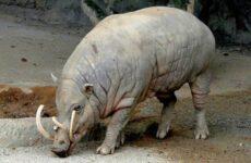 Бабирусса дикая свинья. Описание, особенности, виды, образ жизни и среда обитания бабируссы