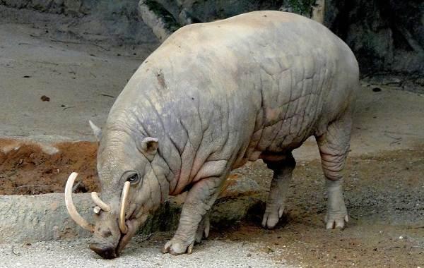 Бабирусса-дикая-свинья-Описание-особенности-виды-образ-жизни-и-среда-обитания-бабируссы-6