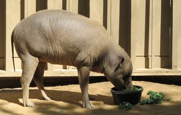Бабирусса-дикая-свинья-Описание-особенности-виды-образ-жизни-и-среда-обитания-бабируссы-8