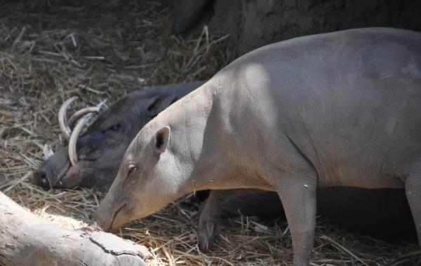 Бабирусса-дикая-свинья-Описание-особенности-виды-образ-жизни-и-среда-обитания-бабируссы-9