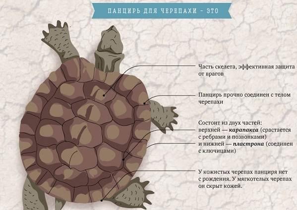 Болотная-черепаха-Описание-особенности-виды-образ-жизни-и-среда-обитания-пресмыкающегося-1