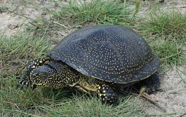 Болотная-черепаха-Описание-особенности-виды-образ-жизни-и-среда-обитания-пресмыкающегося-10