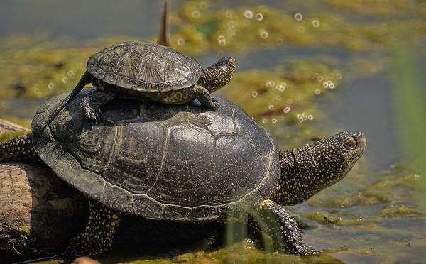Болотная-черепаха-Описание-особенности-виды-образ-жизни-и-среда-обитания-пресмыкающегося-11