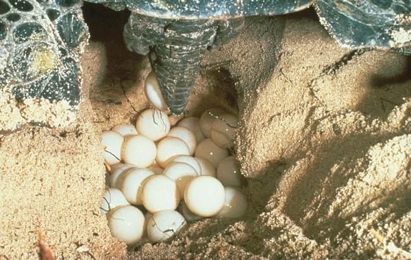 Болотная-черепаха-Описание-особенности-виды-образ-жизни-и-среда-обитания-пресмыкающегося-12