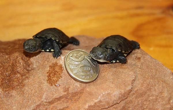 Болотная-черепаха-Описание-особенности-виды-образ-жизни-и-среда-обитания-пресмыкающегося-13