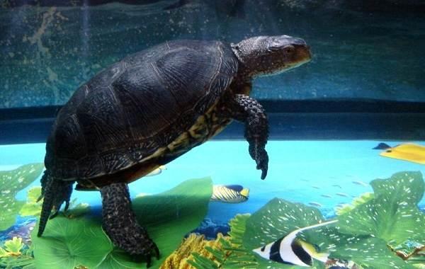 Болотная-черепаха-Описание-особенности-виды-образ-жизни-и-среда-обитания-пресмыкающегося-15