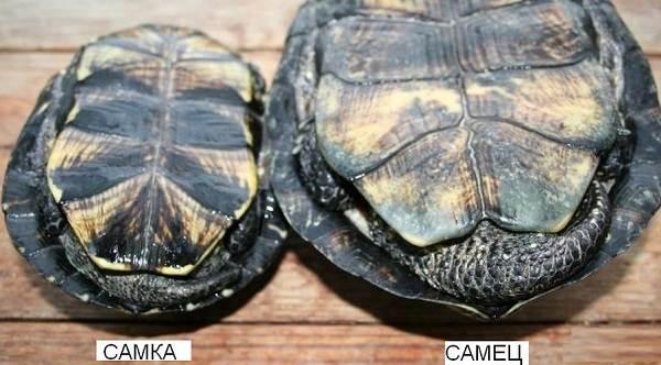 Болотная-черепаха-Описание-особенности-виды-образ-жизни-и-среда-обитания-пресмыкающегося-16