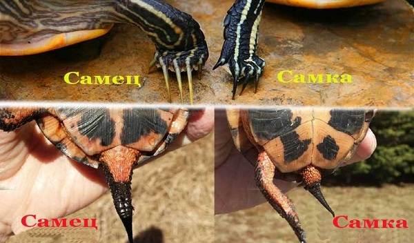 Болотная-черепаха-Описание-особенности-виды-образ-жизни-и-среда-обитания-пресмыкающегося-17