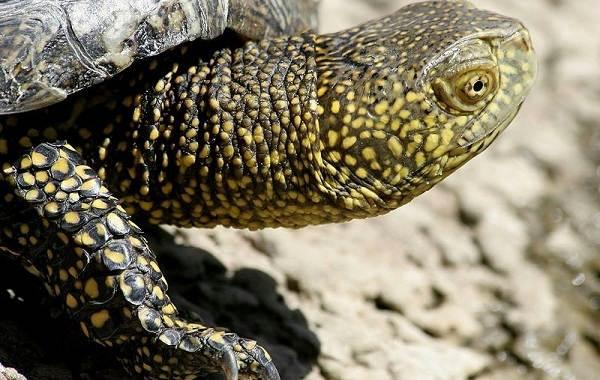 Болотная-черепаха-Описание-особенности-виды-образ-жизни-и-среда-обитания-пресмыкающегося-2