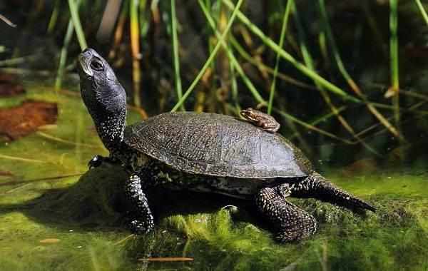 Болотная-черепаха-Описание-особенности-виды-образ-жизни-и-среда-обитания-пресмыкающегося-3