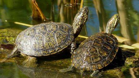 Болотная черепаха. Описание, особенности, виды, образ жизни и среда обитания пресмыкающегося