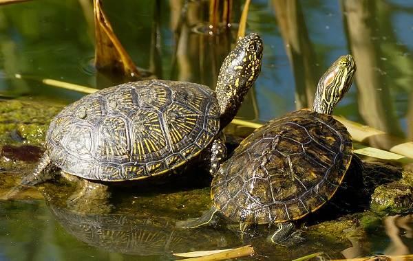 Болотная-черепаха-Описание-особенности-виды-образ-жизни-и-среда-обитания-пресмыкающегося-4