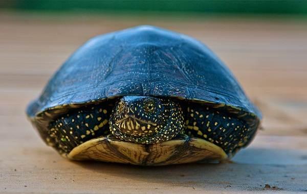 Болотная-черепаха-Описание-особенности-виды-образ-жизни-и-среда-обитания-пресмыкающегося-5
