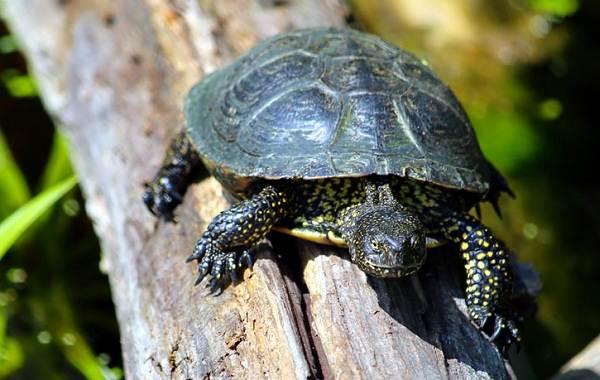 Болотная-черепаха-Описание-особенности-виды-образ-жизни-и-среда-обитания-пресмыкающегося-7