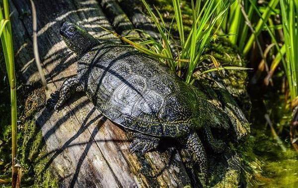 Болотная-черепаха-Описание-особенности-виды-образ-жизни-и-среда-обитания-пресмыкающегося-8