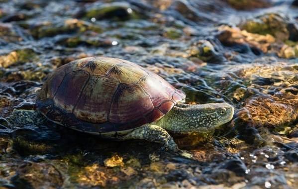 Болотная-черепаха-Описание-особенности-виды-образ-жизни-и-среда-обитания-пресмыкающегося-9
