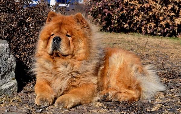 Чау-чау-порода-собак-Описание-особенности-виды-уход-содержание-и-цена-чау-чау-1