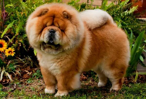 Чау-чау-порода-собак-Описание-особенности-виды-уход-содержание-и-цена-чау-чау-11