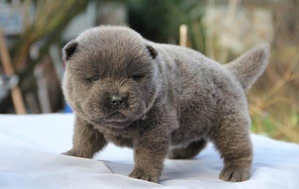 Чау-чау-порода-собак-Описание-особенности-виды-уход-содержание-и-цена-чау-чау-12