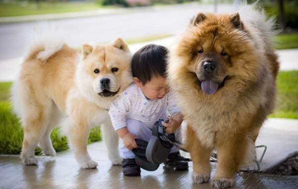 Чау-чау-порода-собак-Описание-особенности-виды-уход-содержание-и-цена-чау-чау-2