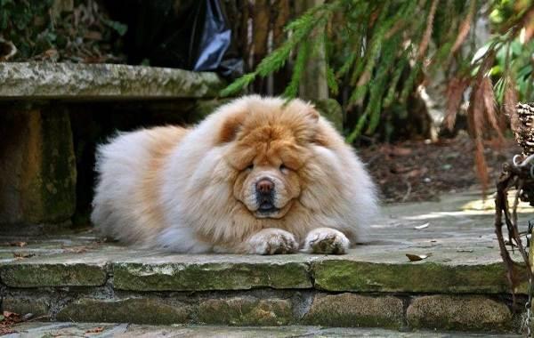 Чау-чау-порода-собак-Описание-особенности-виды-уход-содержание-и-цена-чау-чау-3