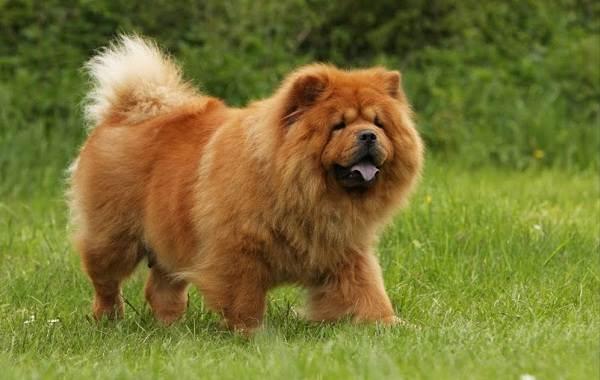 Чау-чау-порода-собак-Описание-особенности-виды-уход-содержание-и-цена-чау-чау-4