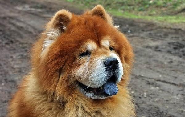 Чау-чау-порода-собак-Описание-особенности-виды-уход-содержание-и-цена-чау-чау-5