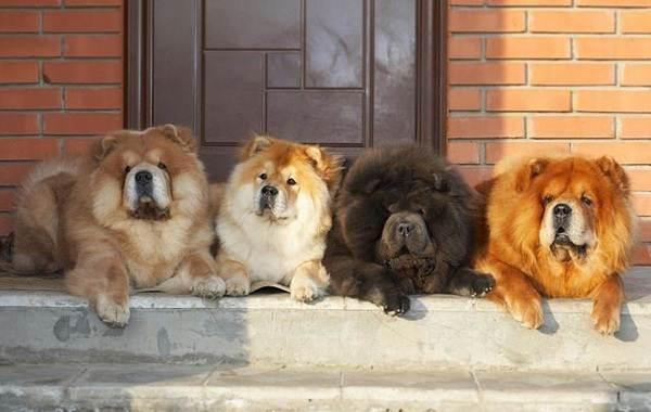 Чау-чау-порода-собак-Описание-особенности-виды-уход-содержание-и-цена-чау-чау-6