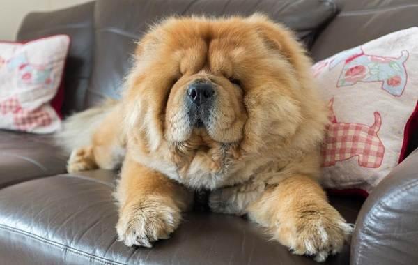 Чау-чау-порода-собак-Описание-особенности-виды-уход-содержание-и-цена-чау-чау-7