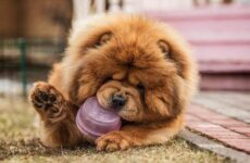 Чау-чау порода собак. Описание, особенности, виды, уход, содержание и цена чау чау
