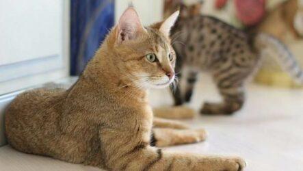 Чаузи кошка. Описание, особенности, характер, содержание, уход и цена породы чаузи