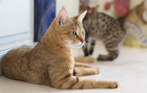 Чаузи-кошка-Описание-особенности-характер-содержание-уход-и-цена-породы-чаузи-1
