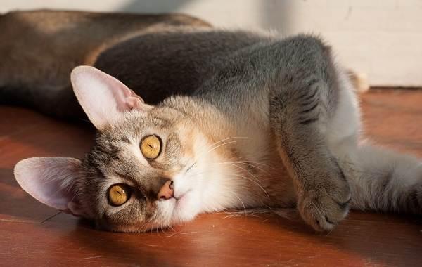 Чаузи-кошка-Описание-особенности-характер-содержание-уход-и-цена-породы-чаузи-10